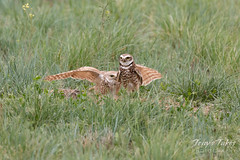 Burrowing Owl mating sequence - 21 of 22