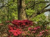 2018 Azalea Blossoms (clarkcg photography) Tags: azalea flowers park flora 7dwf red nikon nikonb700