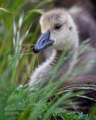 20180519-_47A7709.jpg (Spirithills (Leah Gray)) Tags: gosling duck canadagoose bird esquimaltlagoon