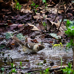Twist 'n Squawk (Portraying Life, LLC) Tags: dbg6 da3004 hd14tc k1mkii michigan pentax ricoh unitedstates bird closecrop handheld nativelighting bath water pool garden