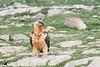 Gypaète au sol (mkerguelenmagrin) Tags: accipitridés accipitriformes beardedvulture biche espagne gypaetusbarbatus gypaètebarbu lammergeier quebrantahuesos bird oiseau