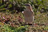 WHEATEAR //  OENANTHE  OENANTHE (15cm) (tom webzell) Tags: naturethroughthelens