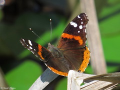 Red Admiral Butterfly (~~BC's~~Photographs~~) Tags: chucksphotos canonsx50 redadmiralbutterfly sloanspond mammothcavenationalpark kentuckyphotos spring outdoors closeups insects ourworldinphotosgroup earthwindandfiregroup photosthruyourlensgroup explorekentucky solidarityagainstcancergroup