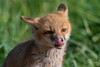 Red Fox - Vulpes vulpes | 2018 - 18 [EXPLORED] (RGL_Photography) Tags: carnivora fox gardenstate jerseyshore kits monmouthcounty mothernature newjersey nikonafs600mmf4gedvr nikond500 redfox us unitedstates vixen vulpesvulpes wildkingdom wildlife wildlifephotography