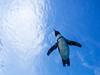 Penguin in the sky, Sunshine aquarium, Tokyo, Japan (yuyugreen) Tags: 日本 東京 水族館 ペンギン 鳥 水 japan tokyo blue aquarium penguin bird water sky 空