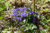 Wutachschlucht (ivlys) Tags: schwarzwald blackforest wutachschlucht gorge veilchen viola blume flower blau blue natur nature ivlys