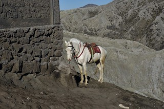 INDONESIA, Java,  white horse in the caldera (sandy sea) At the Tengger volcano massif (Bromo), 17461/10022