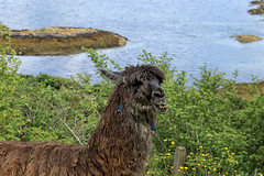 Alpaca or Llama (crafty1tutu (Ann)) Tags: travel holiday 2017 unitedkingdom uk scotland plockton farm animal alpacallama crafty1tutu canon7dmkii canon24105lserieslens anncameron naturethroughthelens coth coth5