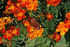 Квіти Чорнобривці InterNetri Ukraine 34