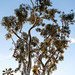 Eucalyptus Tree, Dana Point 4/22/18 #pacificcoast #trees