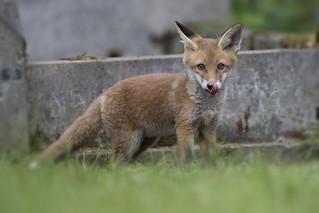 Tasty Treat Fox Cub