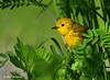 Yellow Warbler, John Heinz Wildiife Refuge (alan jackman) Tags: alanjackman jackmanonjazz nikon d7000 tamron 150600mm johnheinz refuge wildlife yellow warbler