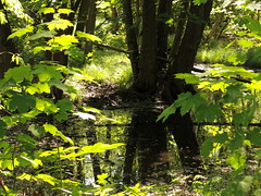 fully green (vertblu) Tags: spring springtime green greens shadesofgreen sunlight sunlit sunrays pond pondlife pondsurface pondscene trees inthewoods intothewoods woodland woods grove reflection reflections reflectedtrees reflectedtwigs mirroring mirrored mirroredlandscape intimatelandscape smalllandscape vert vertblu verdancy moody mood ambiance water
