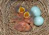 2nd brood of Bluebirds this year (hennessy.barb) Tags: bluebirds babybluebirds newlyhatched nestlings babybirds eggs clutch brood barbhennessy