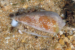 Cone snail (Family Conidae) (wildsingapore) Tags: small sisters island mollusca gastropoda conidae conus singapore marine coastal intertidal shore seashore marinelife nature wildlife underwater wildsingapore