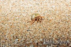 Caribbean Hermit Crab (Cobito) (Hector A Rivera Valentin) Tags: caribbean hermit crab aguadilla puerto rico beach mar sea reuinas de borinquen isla del encanto coenobita clypeatus cobito