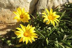 Beach Flowers (jan-one) Tags: sydney newsouthwales australia aus bondibeach beach coast plant
