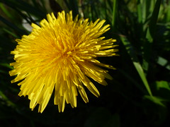 Dandelion (LouisaHocking) Tags: british dandelion plant seeds beaufort hill ponds south wales nature wild wildlife countryside