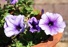 DSC_9954 Petunia (PeaTJay) Tags: nikond750 sigma reading lowerearley berkshire macro micro closeups gardens indoors nature flora fauna plants flowers petunia