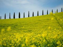 Yellow (Fabio Enrico Spagnoli) Tags: toscana valdorcia landscape paesaggio giallo nature green flowers sky cipressi