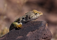 (o texano) Tags: nature lizard collaredlizard arizona desert reptile
