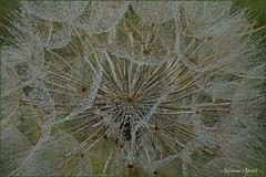 Dopo la pioggia (adrianaaprati) Tags: rain dandelion macro may spring drops country countryside