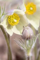 Beauty Flowers (Indigo_Flow) Tags: macro nature closeup flowers floral bokeh blur fresh blossom warm spring siberia