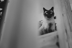 Morning cat. (Ojo de Piedra) Tags: wood xseries titín catlife cute blackwhite fujifilm felinos stairs morning whiskers love xt10 furry family home cats fujixseries
