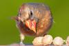 Larger Than Life (Vinny Giordano) Tags: giordanophotography facebook d500 giordanophotos cardinal