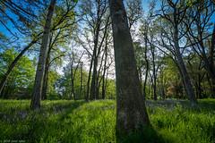 oregon white oak grove (PLand.photo) Tags: salem oregon oak tree
