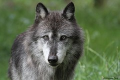 Loup du Canada (Passion Animaux & Photos) Tags: loup canada canadian wolf canis lupus occidentalis parc auxois france