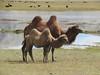 Bactrian Camels (D-Stanley) Tags: bactrian camels silkroad lake karako kashgar tashkurgan xinjiang china