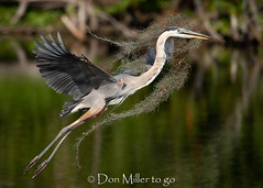 Overachiever! (DonMiller_ToGo) Tags: noedits rookery asshot nature birds greatblueheron florida wildlife bird onawalk heron outdoors birdwatching bif d810 birdsinflight venicerookery