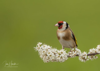 Goldfinch on spring blossom