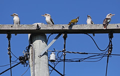 Blu faced honeyeater 020 (DMT@YLOR) Tags: post landpost pole power conductor wire honeyeater bluefacedhoneyeater kookaburra blue defend odd goodna ipswich queensland australia insulate insulator bolts nuts washers electricity sit sittinggreay nature