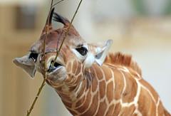 reticulated giraffe artis BB2A0338 (j.a.kok) Tags: giraffe giraffacamelopardalisreticulata netgiraffe reticulatedgiraffe artis animal africa afrika babygiraffe mammal zoogdier dier herbivore