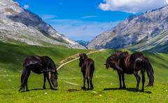 Retozar (Jesus_l) Tags: europa españa cantabria puestosdealiva picosdeeuropa caballos jesúsl