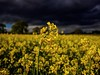 Sunshine on a Rainy Day (Mad Cow Imagery) Tags: clouds stormy canonefs1855mmf3556isstm canoneos80d bst britishsummertime spring springtime rapeseed 7dwf essex epping england gb greatbritain uk unitedkingdom