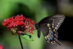 Spicebush Swallowtail DSC_5807 (blthornburgh) Tags: spicebush swallowtail butterfly spicebushswallowtail backyard nature tampa floridabutterfly sunshinestate