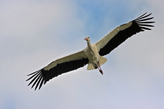 Ciconia ciconia (8035) (Le Photiste) Tags: clay ciconiaciconia whitestork weisstorch klapperstorch cigogneblanche blankacikonio ooievaar earrebarre nature naturesprime rainbowofnaturelevel1red planetearthnature planetearth birds ngc artyimpression artofimages afeastformyeyes aphotographersview autofocus artisticimpressions blinkagain beautifulcapture bestpeople'schoice creativeimpuls cazadoresdeimágenes canonflickraward digifotopro damncoolphotographers digitalcreations django'smaster friendsforever finegold fairplay greatphotographers groupecharlie giveme5 peacetookovermyheart clapclap hairygitselite ineffable infinitexposure iqimagequality interesting inmyeyes lovelyflickr livingwithmultiplesclerosisms myfriendspictures mastersofcreativephotography niceasitgets photographers prophoto photographicworld photomix nederland soe simplysuperb saariysqualitypictures showcaseimages simplythebest simplybecause thebestshot thepitstopshop theredgroup thelooklevel1red vividstriking wow worldofdetails wildlife yourbestoftoday lovelyshot aimable adorable bezaubernd
