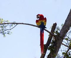 Macaw Manuel Antonio Region (richardjack57) Tags: manuelantoniocostarica macaw birds centralamerica costarica travelphotography travel colors canoneos6d canon canonzoom70200mmf28isllusm yongnuoextenderef2xlll sky bird tree wood