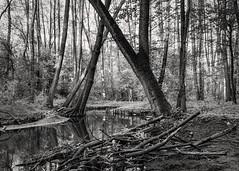 Cybina 04-2018 (Krzysztof Krr) Tags: sony a6000 nex selp1650 spring river cybina malta poznan poznań tree trees forest bw