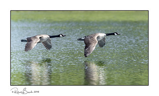 Goose green reflections - Canada Geese in flight