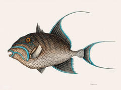 Old Wife Fish (Guaperva Maxima Caudata) from The natural history of Carolina, Florida, and the Bahama Islands (1754) by Mark Catesby (1683-1749).