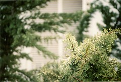 14 (LassintoperiL) Tags: daylight día plantas plants ciprés árbol fuego tree analógica analogue canon at1 neighborhood fotolibro photobook