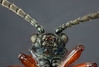 Flying Insect (brianjobson) Tags: fly insect eye compoundeyes antenna macro micro extrememacro dofstacking focusstacking sundaylights nikond810
