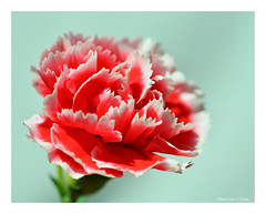 Red and White (Graham Pym) Tags: red white petals nikon flora coth alittlebeauty coth5 fantasticnature