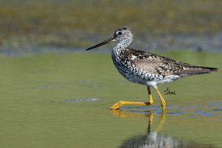 High-stepping Yellowlegs - 9063b+