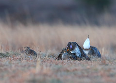 Sharptail Grouse - Getting Lucky_200 (Scott_Knight) Tags: grouse mating feathers canon wisconsin sharptail birds mate 300mm wildlife nature field greatphotographers