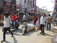varanasi 2017 (gerben more) Tags: cow bull varanasi india benares streetscene streetlife street animal